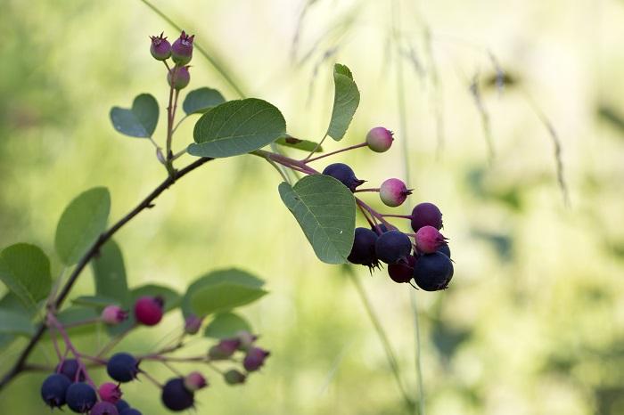 果実がなる樹木は、誰からでも愛されます。さらに果実が食べられたら楽しいですよね。毎年シンボルツリーから収穫した果実で果実酒を作ったりジャムやお菓子にしたり。家族みんなで楽しめる樹木です。樹を植えたら果実の収穫も楽しみたい方におすすめです。