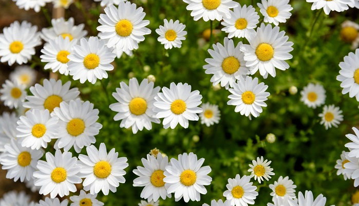 ノースポールはキク科のマーガレットによく似た花ですが、マーガレット(モクシュンギク属)とは違います。開花時期が長く、12月から5月まで咲いています。