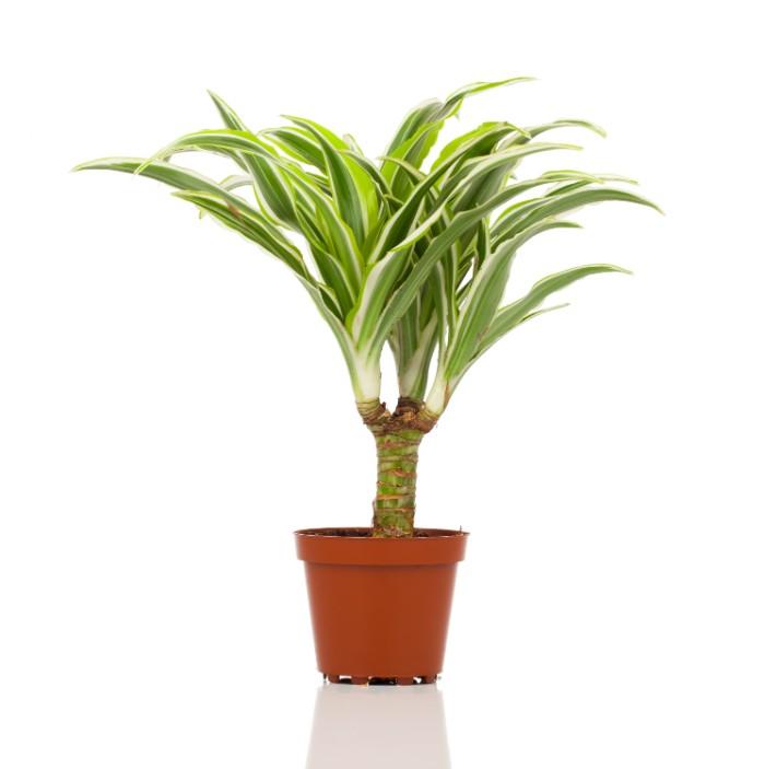 ドラセナ・マッサンゲアナは、「幸福の木」という別名からも縁起がよいため、引っ越し祝いのプレゼントとしても人気があります。