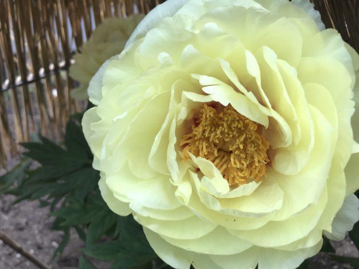 芍薬(シャクヤク)と牡丹(ボタン)は花を見るだけではその違いが分かりにくく、英語ではpeonyと同じ名前で呼ばれている程です。見た目はよく似ていますが全く違う植物で、牡丹(ボタン)は「落葉低木」、芍薬(シャクヤク)は「多年草」として属性も違う植物です。「立てば芍薬、座れば牡丹、歩く姿は百合の花」という言葉がありますが、なぜ立ち姿が芍薬で座った姿が牡丹なのか?  立ち姿と座った座った姿に例えられる理由 牡丹・・・落葉した低木の幹から、新芽を出し花を咲かせる事から座った姿に見える、落葉低木。 芍薬・・・季節になると、地面からスッと伸びた茎の先に花が咲く事から立ち姿に見える、多年草。 葉の形で見分ける 牡丹・・・葉は薄くツヤがなく大きく広がる葉の先はギザギザした形。 芍薬・・・葉に厚みとありツヤがあり葉の先にギザギザがない。 蕾の形で見分ける 牡丹・・・先がとがっている。 芍薬・・・球体をしている。 香りで見分ける 牡丹(ボタン)・・・香りが少ない、数は少ないのですが品種によっては香りの強いものもあります。 芍薬(シャクヤク)・・・甘く薔薇に似た香りがする。