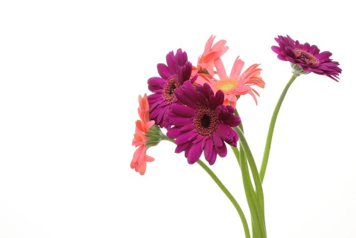 色も豊富なガーベラは、花の姿も華やかで生命力を感じさせてくれ、卒寿お祝いに贈るお花にぴったりです。丸い形が明るい気分にさせてくれて、魅力的なお花です。