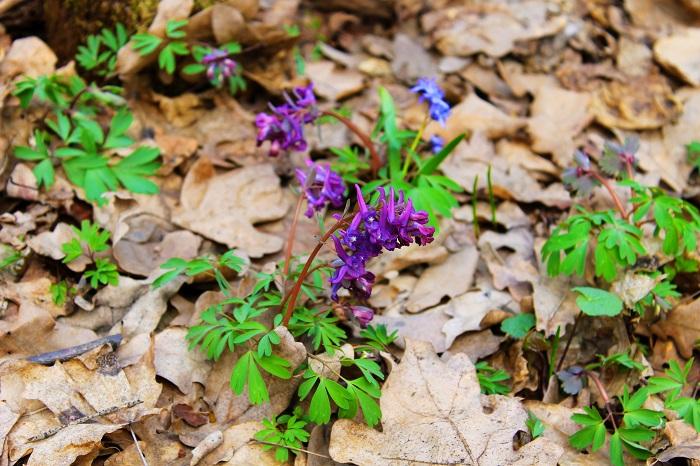 ケマンソウは、ケシ科キケマン属の多年草。筒状の紫色の花を咲かせます。花期は4~5月くらいで、ホトケノザと近い時期に咲きます。ラッパのような形の紫色の花がホトケノザに似ていることから、仲間だと思われがちですが別種です。このムラサキケマンには毒がありますので、間違っても口に入れることのないように注意してください。ホトケノザと間違えて蜜を吸ったりしないように気をつけてください