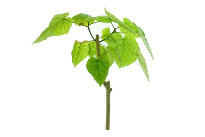 明るい緑の葉がおしゃれに室内を飾ってくれるフィカス・ウンベラータ。どんなテイストの部屋にも合わせやすくプレゼントとして人気の高い観葉植物です。