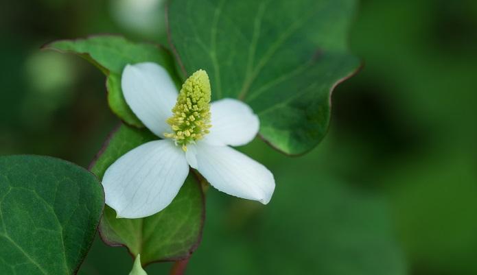 植物名ドクダミ 学名Houttuynia cordata 英名chameleon plant 科名ドクダミ科 属名 ドクダミ属  原産地  東アジア 多年草であるドクダミは日陰のやや湿った場所を好みます。生育環境が合うとどんどんふえます。少し暗い場所にあるドクダミは花が白く浮き上がって見え、とてもきれいです。