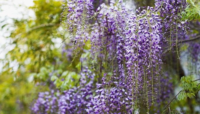 植物名フジ(ふじ・藤) 学名Wisteria floribunda 英名Wisteria 科名 マメ科  属名 フジ属  原産地  アジア、北米、ヨーロッパ 藤は5月に薄紫色の房状の花を咲かせます。棚にそって薄紫のカーテンのようになっているさまはとても美しいです。