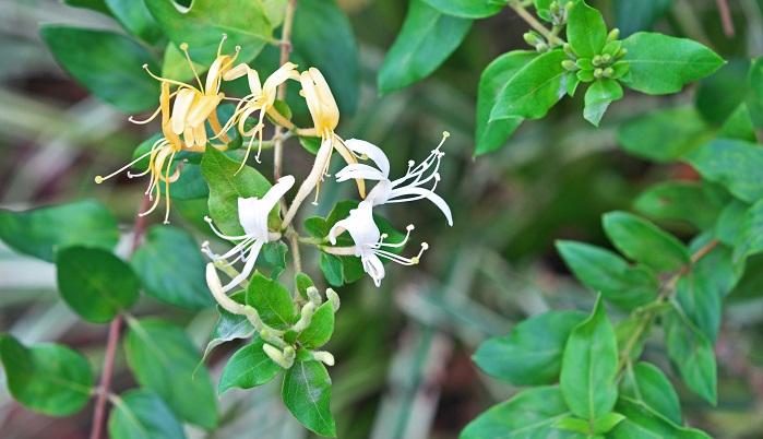 忍冬(にんどう)ともいわれます。寒い冬も越すため、その名前がついています。スイカズラは香りが良いので庭木としてもおすすめです。