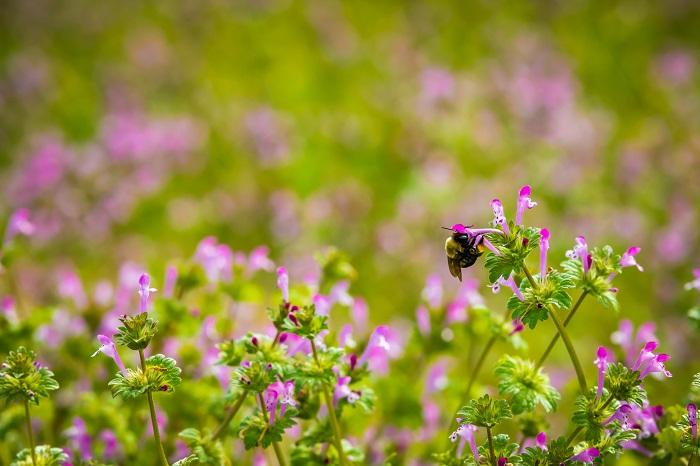 ホトケノザの最大の魅力は、その蜜ではないでしょうか。台座のような葉から花をそっと引き抜き、根元をちょっと吸うと、甘い蜜が舌の先に付きます。ツツジでもこんな遊びをした記憶があります。  ホトケノザはお花ひとつひとつが小さいので、収穫できる蜜もほんのちょっとです。特別においしいわけではないのですが、子供の頃に森や原っぱで遊んでいてホトケノザを見つけると蜜を吸うのが大好きでした。ホトケノザはサルビアと同じシソ科の植物です。そういえばサルビアの蜜もよく吸って遊んでいました。ホトケノザとサルビアはお花の形も似ています。