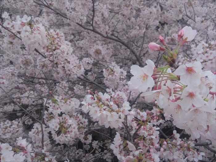 桜が花開く季節、桜の花を体内に入れたくなりますよね。私たち日本人は春になると菜の花の蕾を食べたり、蕗の蕾に当たるフキノトウを食べたり、お花を食べて楽しむことを知っています。桜を使った飲み物や食べ物をご紹介します。体の中から春を感じてください。  桜の塩漬け 桜の花の塩漬けです。簡単に自宅で作れて、塩漬けだから保存も可能です。長く桜を楽しめます。