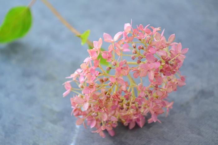 2011年ごろから出回りだしたピンク色のアナベル、「ピンクアナベル」。ピンクアナベルも、咲き始めのピンクから、きれいな秋色に変化した時点でドライフラワーにすると美しい仕上がりになります。
