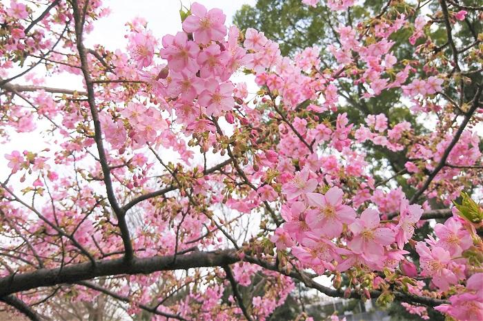 春に染井吉野が咲き始めるより早く、切り花の桜が出回り始めます。桜の枝をお家にも飾ってみませんか。あまり大きな枝は難しいかもしれませんが、ご自宅で桜を上手に生けるコツをご紹介します。