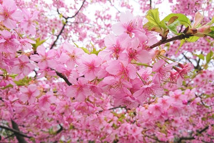桜(サクラ)は、バラ科サクラ属の総称です。サクランボも桜の果実です。この中からいくつか種類をご紹介します。