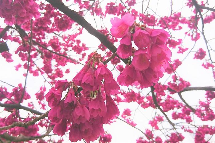 ちょっと大人な楽しみ方をご紹介します。桜にちなんだお酒です。
