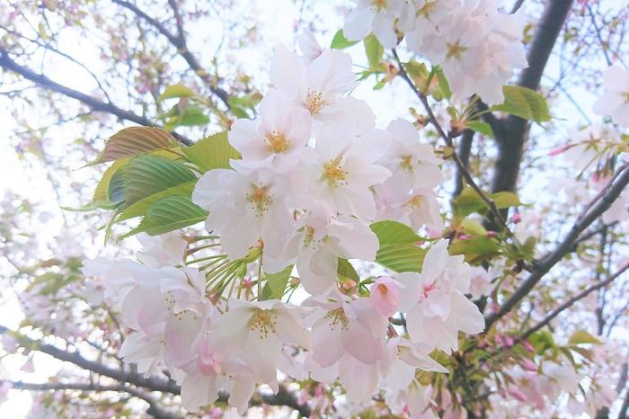 サクランボが桜の果実だから「桜ん坊」だということを忘れてしまっている方も多いのではないでしょうか。サクランボは「西洋実桜(セイヨウミサクラ)」という品種の桜の果実です。これは、ヨーロッパ原産の品種で、果実を食用にする桜です。  私たち日本人が観賞用としている桜も実が付かないことはありませんが、食用向きではありません。染井吉野などは、初夏に真っ黒に売れた果実を実らせますが、食用には向きませんし、街路樹の桜は必ず薬剤が散布されていますので食べないようにしてください。