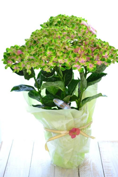 アジサイの花言葉は「一家団欒」ぎゅっと集まった可愛らしいお花を母の日に贈って、家族でアジサイを楽しむのもおすすめ。