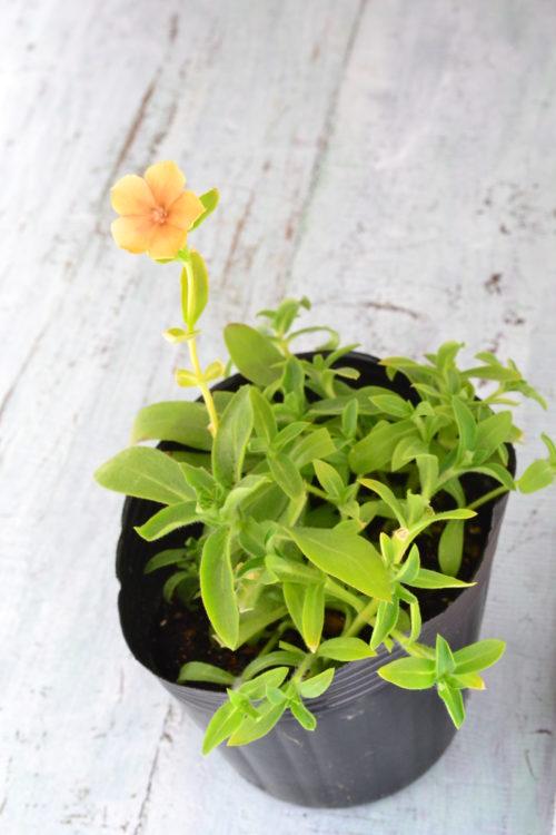 秋に種を蒔いた1年草のフロックス・チェリーブランデー。ポット苗に直播したものです。