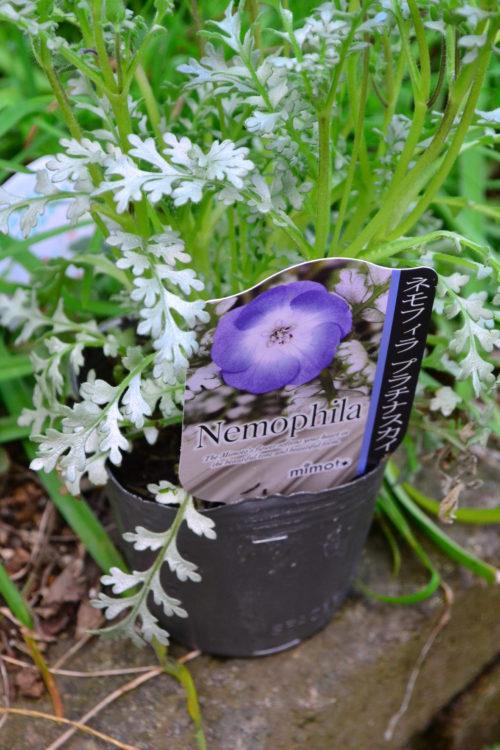 ※見元園芸登録品種 ※登録品種とは、種苗法により保護された品種です。  ネモフィラは品種がいくつかありますが、このプラチナスカイは葉っぱがシルバーリーフなのが特徴です。