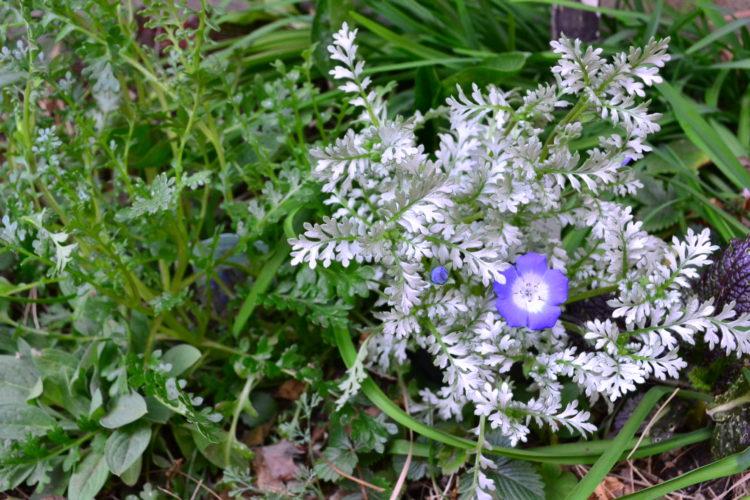 左 ネモフィラ・インシグニスブルー 右 ネモフィラ・プラチナスカイ  花が少ない時期でも、この色はかなり目を引く色です。寄せ植えや花壇などに植えるときは、花が少ない時期と花がたくさん咲いてきたときの色合いをイメージして植える場所を決めるとよいですね。