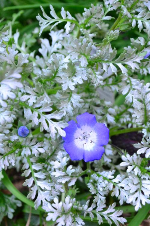 ネモフィラ・プラチナスカイは葉っぱの表がシルーバ、茎はグリーン、花は「インシグニスブルー」と同じブルーです。ブルー、シルバー、グリーンの色合わせが素敵なネモフィラです。