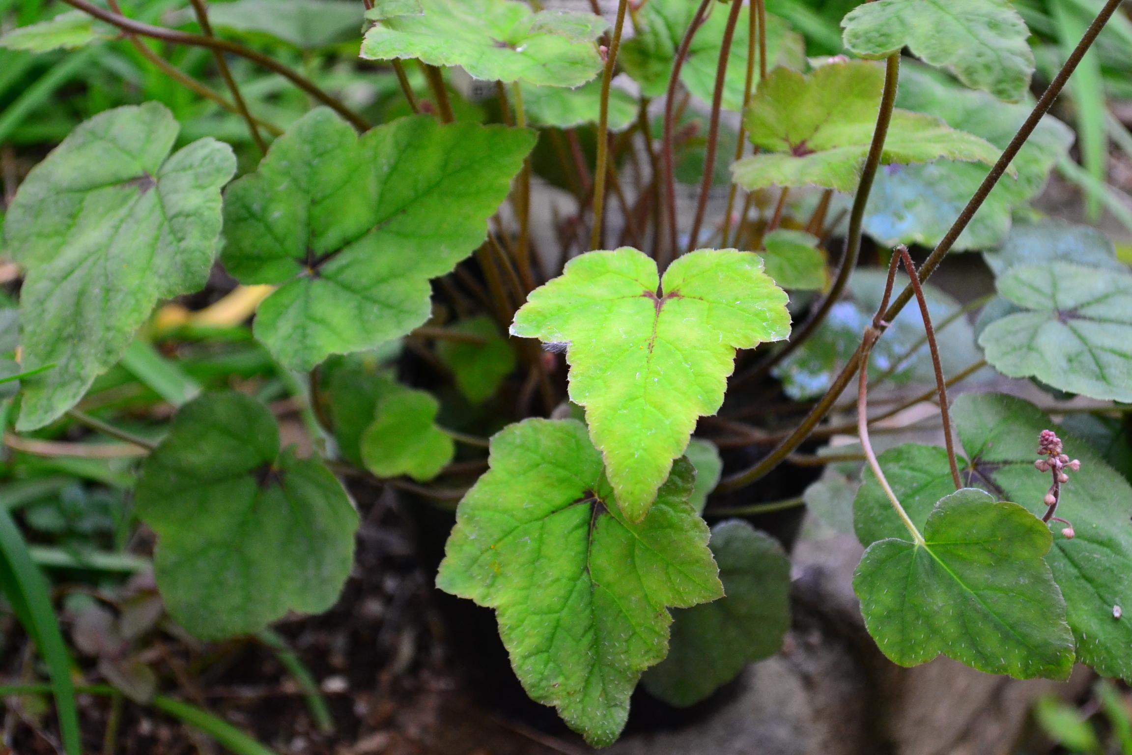 ティアレラは、ユキノシタ科ティアレラ属の花のかわいい宿根草です。