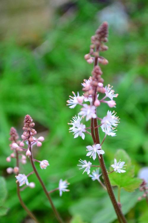 ティアレラの花は4月~5月に株元から花茎が上がってきてたくさんの花が開花します。ティアレラの花は切り花としても利用できます。穂状の花なのですっきり伸びやかな雰囲気で生けてみてはいかがでしょうか。
