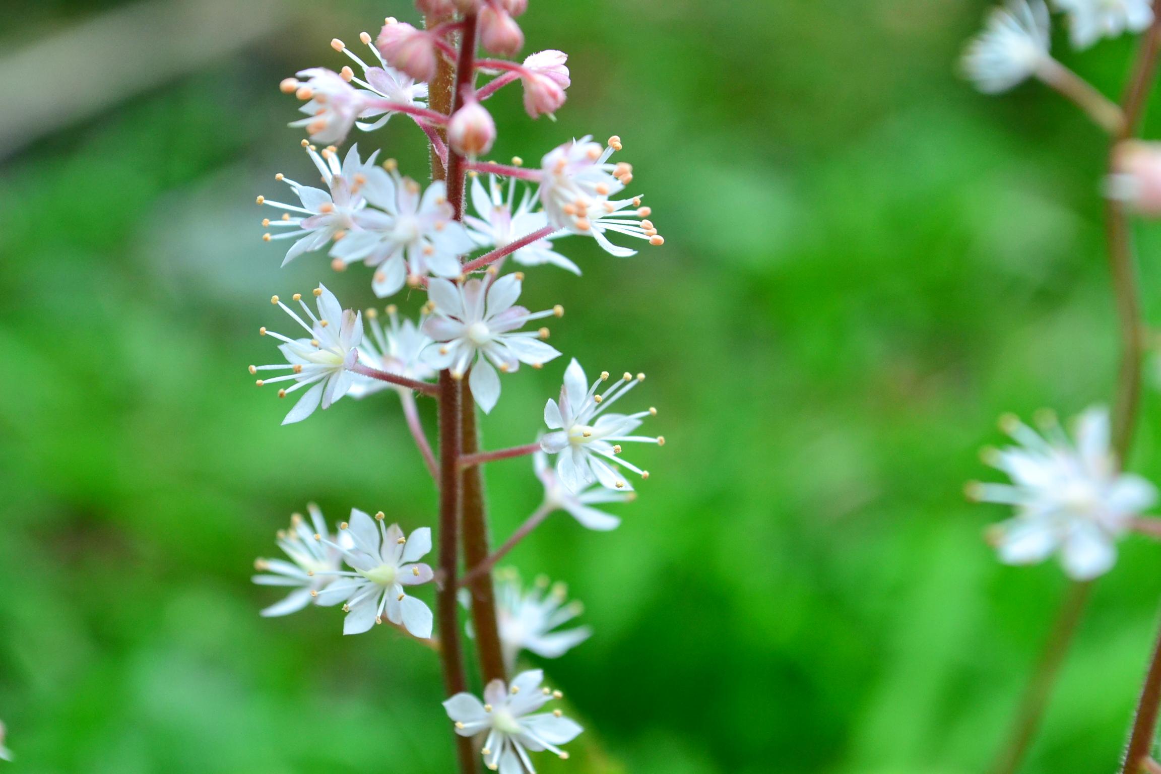 おしべはひとつの花に10本。散らばったようについていて、ひとつひとつは小さい花ですが花火みたいな華やかさ。かわいい花です。