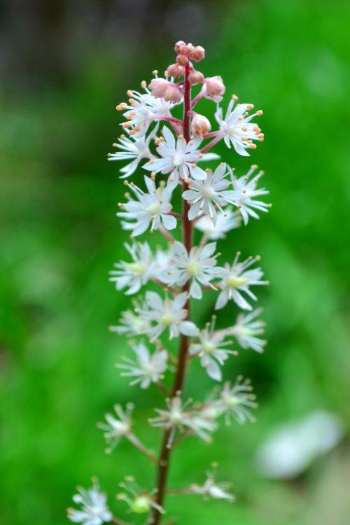 ティアレラとヒューケラの一番大きな見た目の違いは花。ヒューケラの花はツボ状の形をしています。ティアレラの花の方がは、ひとつひとつが花らしい形で穂状にたくさんの花がついています。