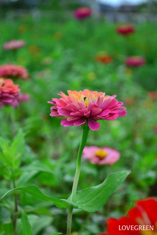 ジニアは摘芯や切り戻しをすることによって、脇芽の成長を促し、切ったところから花茎が倍に増えるので、花数の多い、しっかりとした株に仕立てることができます。  摘芯は種まきで育てる場合、本葉が10枚前後になったら行います。そのあとは、適時、様子を見て摘芯していくと、脇枝が伸びて花数の多いしっかりとした株に育ちます。