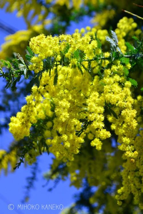 花の時期 3月  「ミモザ」とはアカシア属のなかでも、黄色の房状の花をつける種類の俗称です。特にギンヨウアカシアは「ミモザ」として、庭木として、切り花としてとても人気のある植物で、花の開花は3月です。花もかわいいミモザですが、シルバーグリーンの葉も美しく、3月の花の時期以外の葉だけの季節も美しい庭木です。常緑高木なので地植えにすると、最終的にはとても大きくなります。ミモザはたくさんの種類があり、開花の時期が春以外のものもあります。