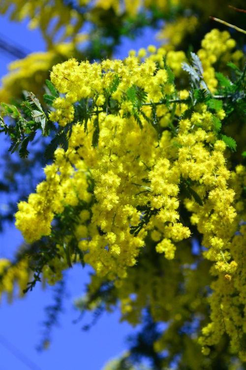 ドライフラワーの中でも大人気のミモザ。リースやスワッグ作りに使える花材です。