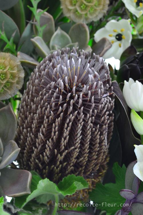 バンクシャーはオーストラリア原産のヤマモガシ科の植物です。最近、南半球原産のユニークなフォルムの植物が切り花としてたくさん流通するようになり、バンクシャーもたくさんの品種が流通しています。簡単にドライフラワーになる花で、一輪でも存在感があります。