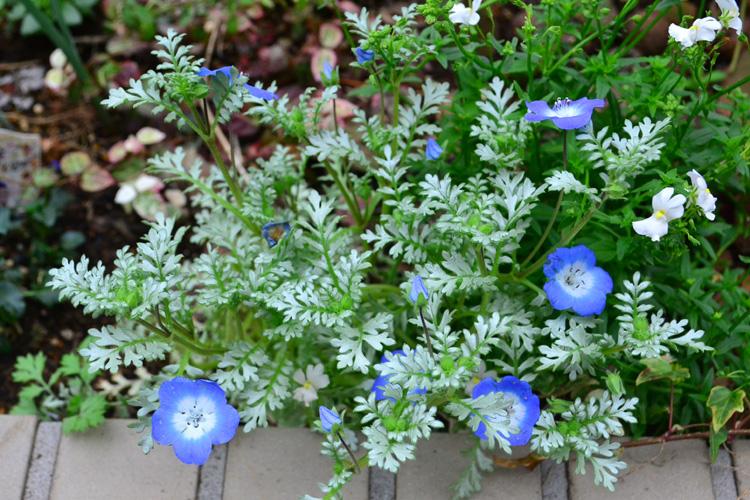育て方は通常のネモフィラとまったく同じです。  通常のネモフィラより葉っぱが若干繊細なので、霜が降りる心配のある時期は、軒下などで管理したほうがよいでしょう。  ネモフィラはいくか品種があって、品種によって葉の伸び方に差があります。  このシルバースカイは、ブルーの品種のように伸びるタイプのネモフィラです。這うように生長していくので、春暖かくなると横幅がかなり伸びるので、となりの植物との間隔は広めにとります。