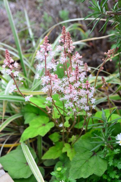 ティアレラは、鉢植えでも地植えでも育てることができます。ティアレラ、ヒューケラなど、ユキノシタ科の草花に多いのですが、花の咲いている時期の草丈と、花が咲いていない時期の草丈はかなり違います。