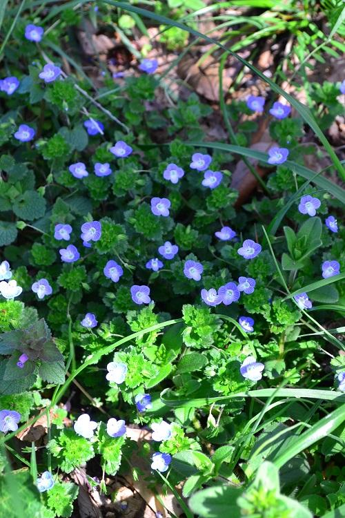 3月4月に咲く春の花オオイヌノフグリ
