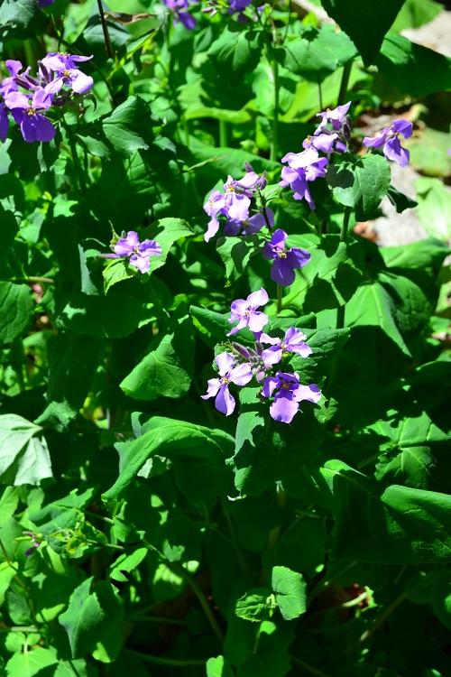 3月4月に咲く春の花 ムラサキハナナ