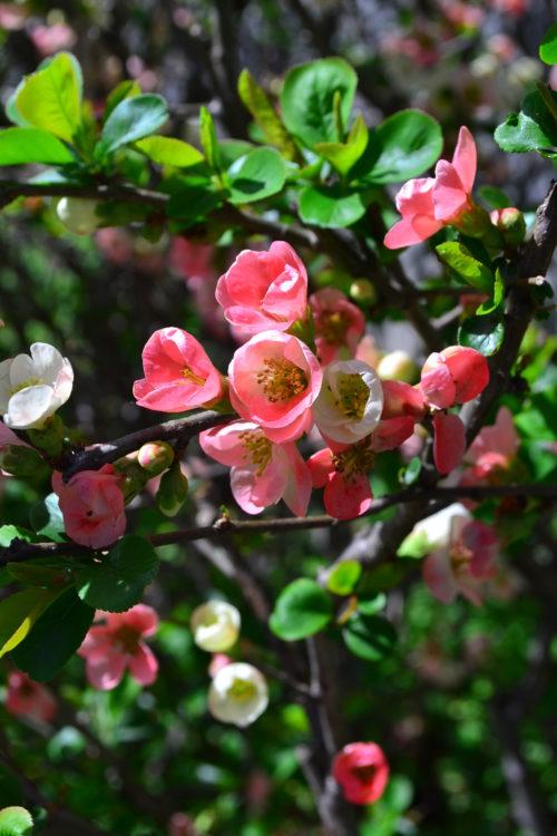 花の時期 12~5月  ボケは早春から春にかけて梅のような花を咲かせる落葉低木で、盆栽として大変人気の高い植物です。また、花の美しさから庭木としても人気があります。一般に早春から咲き始めるものが多いですが、1月頃から咲き始める寒木瓜や四季咲きの品種もあり、四季を通じて楽しむこともできます。品種が豊富なボケ、色も単色のものもありますが、1本の木から違った色あいの花が咲く品種もあります。