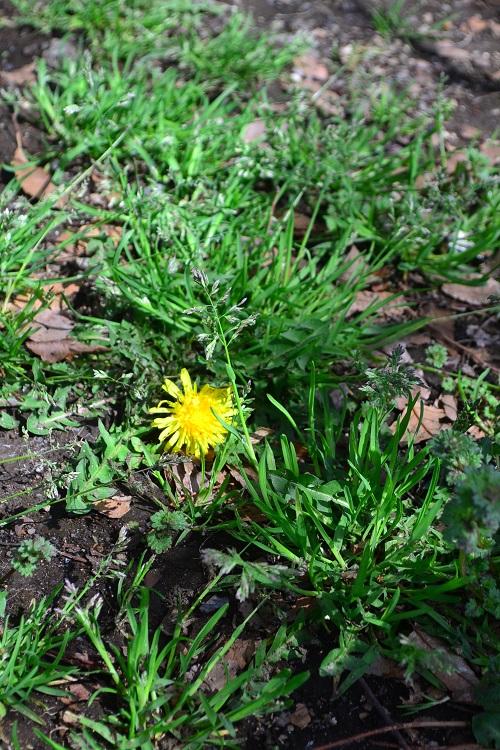 3月4月に咲く春の花タンポポ