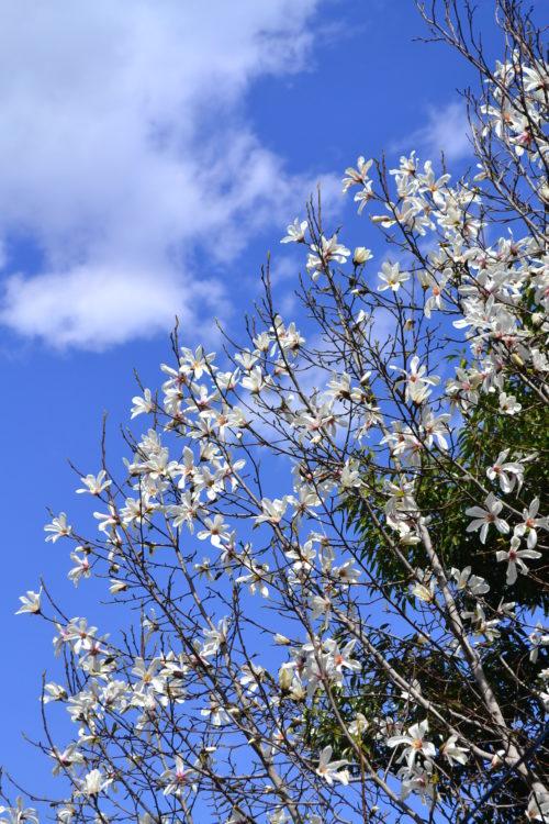 コブシ  花の時期 3~4月  学名だと「マグノリア」のモクレン、ハクモクレン、コブシ。植物的には仲間ですが、見た目や開花時期などが若干変わります。近年では八重咲きなど、次々と新種のマグノリアが作られて、日本だけでなく欧米でもガーデニングで人気の庭木です。  一般的にモクレンというと、紫色の紫木蓮。紫木蓮の花丈は5m前後ですが、ハクモクレンは分類的には高木で、数十メートルサイズになる木です。見た目が似ているハクモクレンとコブシの見分けで一番簡単な方法は、花びらの枚数。コブシは6枚であるのに対して、ハクモクレンは9枚です。  それぞれの開花時期は、モクレンとハクモクレンだと、ハクモクレンの方が若干開花が早く3月上旬から中旬、コブシはソメイヨシノと同じくらいの3月下旬から4月にかけてが花の季節です。  マグノリアの仲間は、とてもよい香りがする種が多いですが、一般的に「マグノリア」という名前で香水などの成分として使われるマグノリアは、同じ仲間でも初夏に咲く「タイサンボク」です。