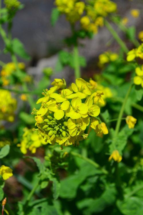 3月4月に咲く春の花 菜の花