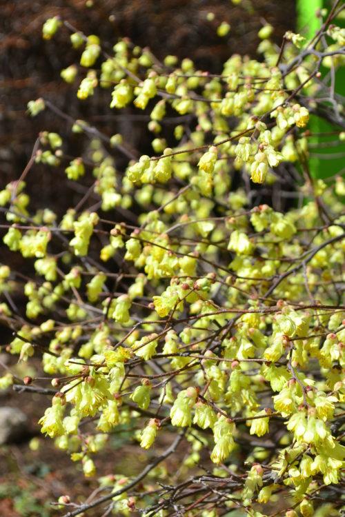 花の時期 3月~4月  ヒュウガミズキはマンサク科トサミズキ科の落葉低木です。川沿いなど、公共空間の植栽にもよく使われています。3月~4月にかけて淡い黄色の花がうつむいたような姿で開花します。派手さはありませんが、楚々としてかわいらしい花です。ヒュウガミズキは花の開花後、葉っぱが出てくる性質です。葉っぱは明るい緑色、線が入ったようなおもしろい見た目をしています。初夏の緑も美しいですが、秋の葉も美しく紅葉します。ヒュウガミズキは切り花としても、芽吹き枝として流通しています。芽吹き枝で購入して生けていると、花が咲くこともあるので、機会があったらお試しください。