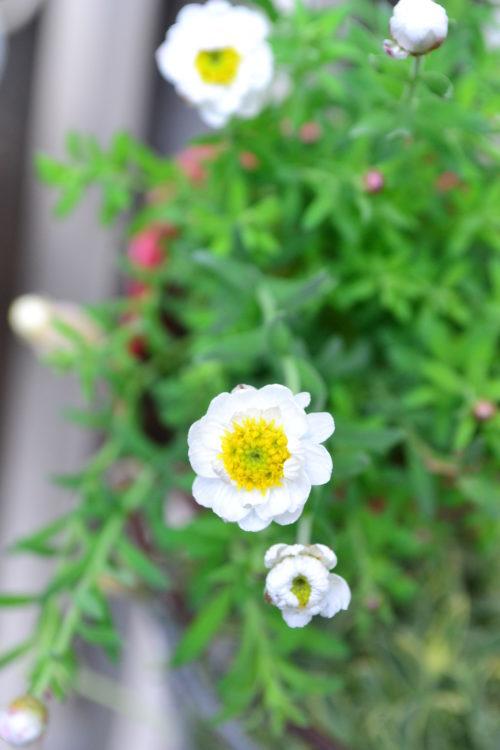 冬頃から苗ものとして出回る花かんざし。花が生花の状態でもカサカサとしていて、ドライフラワーにするのも簡単な花です。短い丈の草花なので、茎を使うならミニスワッグ、ミニブーケ、花の頭だけカットしてリースやアレンジの材料に。ドライフラワーにしたい時は、花は咲き始めの状態の方がきれいな仕上がりになります。