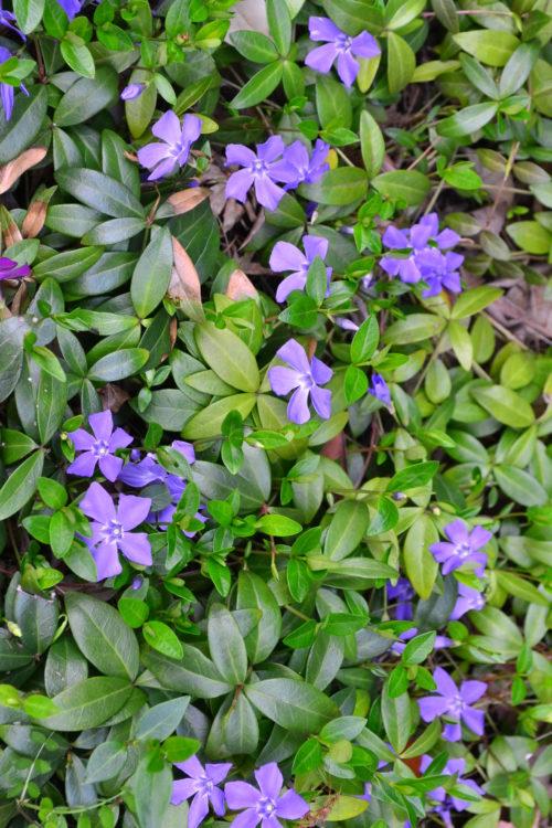 3月4月に咲く春の花  ツルニチニチソウ
