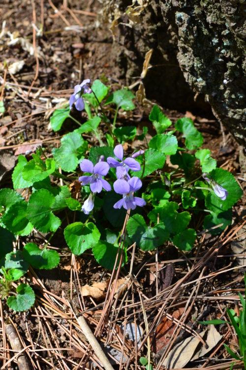 スミレ  3月4月に咲く春の花