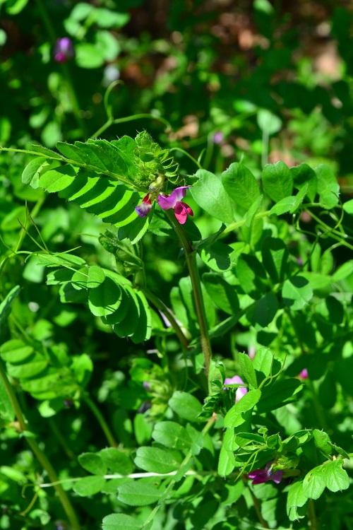 3月4月に咲く春の花カラスノエンドウ