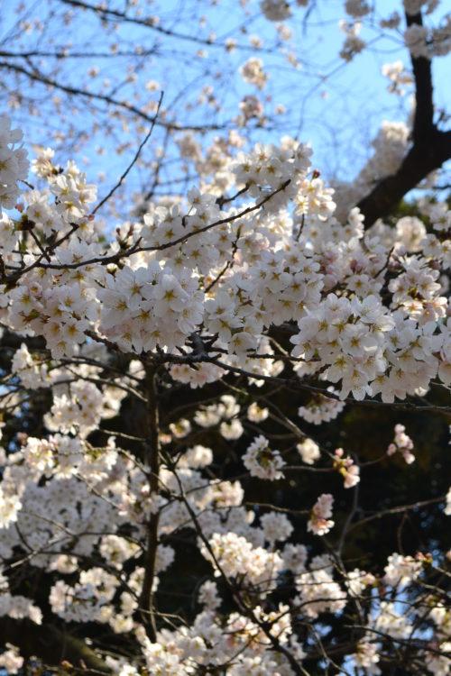花の時期 2月~4月  3月、4月の花は?と聞かれて桜をあげる方が一番多いのでは。桜の開花というニュースで使われる桜の品種はソメイヨシノ。昭和の頃はソメイヨシノと言えば、入学式の頃に満開になる桜でしたが、年々、花の開花が早まり、今では3月に咲き始めから満開になる年もあります。このソメイヨシノは若木でも花を咲かせる特徴があり、戦後日本中に植えられ、今では桜の代名詞のようになっています。冬の間は枯れ木のような状態だった枝から淡いピンクの花が枝一面に美しく咲き誇る姿は、人を惹きつける魔法のような光景です。  桜は種類が多く、早咲き種は2月くらいから、それに続くように3月から4月に咲く多くの種類が次々と咲き続けます。ソメイヨシノは花が先に咲き、花の後に葉が出てくる性質ですが、桜は品種によっては葉も一緒に出てくる桜もあります。