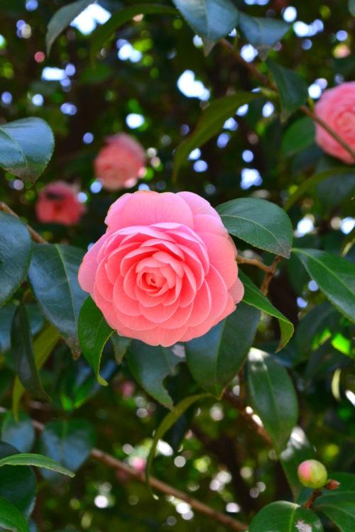 花の時期 11月~4月  ツバキは日本を代表する花木で、海外でも近年非常に人気の高い常緑高木です。ツバキはたくさんの種類があり、寒椿(カンツバキ)と呼ばれる種の開花時期は11月~2月ですが、3月~4月に咲くツバキもたくさんあります。一重から八重咲き、色も豊富にあり、たくさんの品種があります。  ツバキと姿がよく似た山茶花(サザンカ)の見分け方はいくつかありますが、3月~4月の桜の咲くころに咲いていれば、まずツバキと思ってもよいでしょう(サザンカの開花時期は晩秋~2月ごろ)。もうひとつ、ツバキの花の終わりは花ごとぼたっと落ちるのに対して、サザンカは花びらが散るように落ちるので、木の下に落ちている花で見分ける方法もあります。