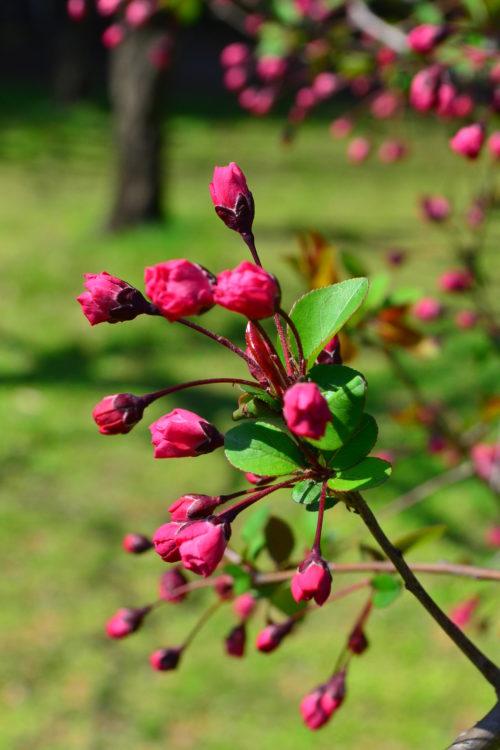 花がとてもかわいらしい花木ですが、写真のようにつぼみの姿もかわいらしい姿をしています。色にもよりますが、つぼみの色と開花した時の色の変化もまた美しいのです。