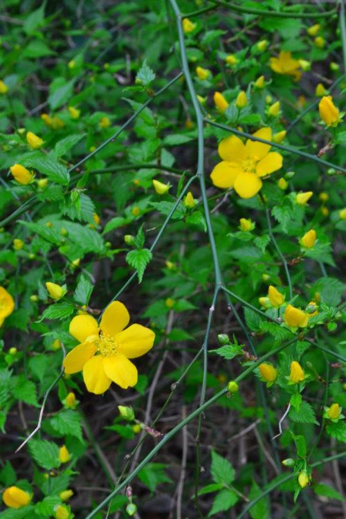 花の時期 4~5月  山吹は4月から5月に美しい山吹色の花を咲かせる落葉低木です。日本原産の木なので、日本全国で見ることができます。山吹色の花を木一面に咲かせる姿はとても美しい光景です。花は一重の他、八重もあります。