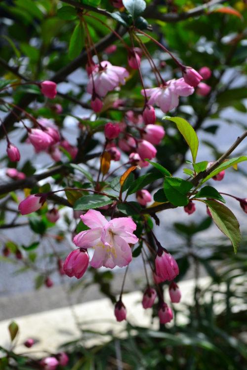 花の時期 4月~5月  ハナカイドウはカイドウとも呼ばれる、バラ科リンゴ属の落葉低木です。低木と言っても5mくらいにはなります。色は白からピンク系濃淡まで品種も豊富の庭木です。4月から5月にかわいい花を咲かせるハナカイドウ。