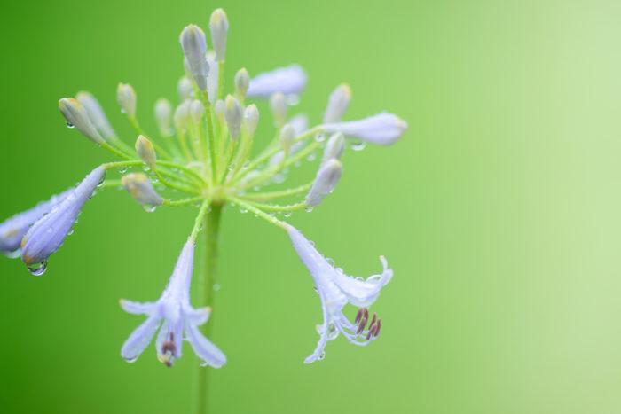 アガパンサスは、ユリ科の多年草で南アフリカ原産の球根植物です。種類は20種類程の原種があり、それを交配して作られた300品種程の園芸種があります。  草丈は小型のポットでも育てられる20cmのものから大型の1.5mと品種によって幅広い草丈と、花の直径も10cm~30cm程まで差があります。アガパンサスは冬でも葉が枯れない常緑の多年草タイプのものと、冬になると地上部が枯れる宿根草タイプのものがあります。  学名のアガパンサス(Agapanthus)は、ギリシャ語で愛を意味するagapeと花を意味するanthosが語源となります。  小さな百合がたくさん咲いている様に見える事から、英名ではアフリカンリリーと呼ばれ、和名では君子蘭にその形が似ている事から紫君子蘭と呼ばれています。  開花の時期は5月~7月頃、梅雨の季節に肉厚の葉の間から伸びやかに伸びてきて茎の先に花を咲かせます。  花の形は小さなラッパ状の花が集合して放射状に花火のように外に向かって咲いています。色は紫色をしたものが多く、淡い水色をした色から濃い青紫色のものまで幅広く、他にもピンク、白色等、清涼感のある色をしていて梅雨の湿度を和らいでくれるような涼し気な姿をしています。種類は花びらが多いものや、丸みを帯びたものや、蕾のまま咲かない種類や青色から途中で白色に色が変化する個性的なものまで様々です。