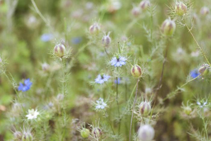 種まき 9月~10月頃。  小さめのポットに土入れ、種を蒔きます。  光を嫌う(暗発芽種子)なので、種を蒔いたら土を十分に土をかぶせます。発芽して育ち始めたら10月~11月に花壇や植木鉢に移し替えます。  置き場所 日当たり、風通しが良く、水はけのよい場所が適しています。  管理 花がらを摘む必要もなく、手間がかからず育てられます。  用土 土は市販の草花用の用土を使ってみましょう。  肥料 苗から植え替え時に規定より少なめの化成肥料を与えるくらいで、根が張り始めたら必要ありません。花壇に植え替え後は土に混ざっている腐葉土の栄養だけで十分に足りるため、たい肥を与える必要はありません。  水やり 発芽して植え替え後、十分に根が張ったら、植木鉢に植えた苗は乾燥したらたっぷりと水を与えましょう。花壇に植えた苗は十分に根が張った後は、特にお水を与える必要がなく雨の水だけで十分に保水できます。  湿度に弱い為、お水の与えすぎに注意が必要です。  病気と害虫 春と秋にアブラムシが着く事があります。育成を妨げますので、着くまえに市販のアブラムシ防虫剤などを散布しておくとよいでしょう。